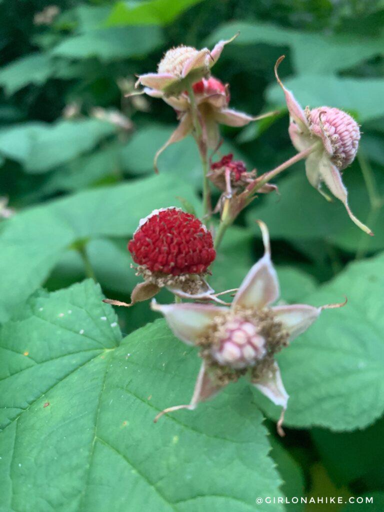 Hiking Lambs Canyon, thimbleberries